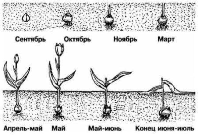 Луковица тюльпана - развитие по месяцам
