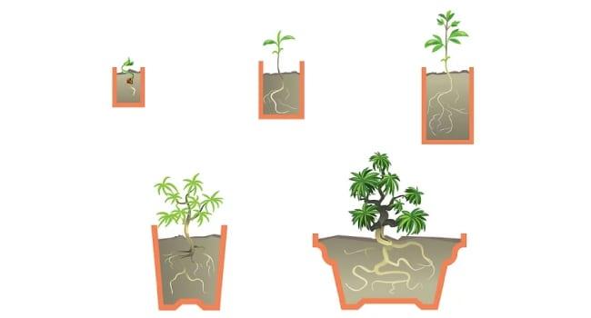 Этапы роста бонсай и виды горшков
