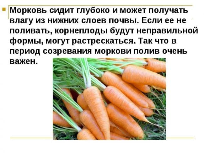 Полив моркови в период созревания