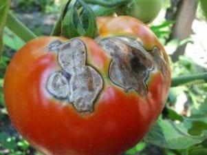 Гниль на помидорах