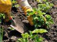 Когда лучше сажать клубнику весной, летом или осенью