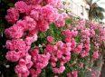 Вьющаяся роза – посадка и уход